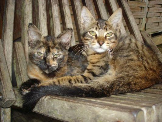 chats de Guyane