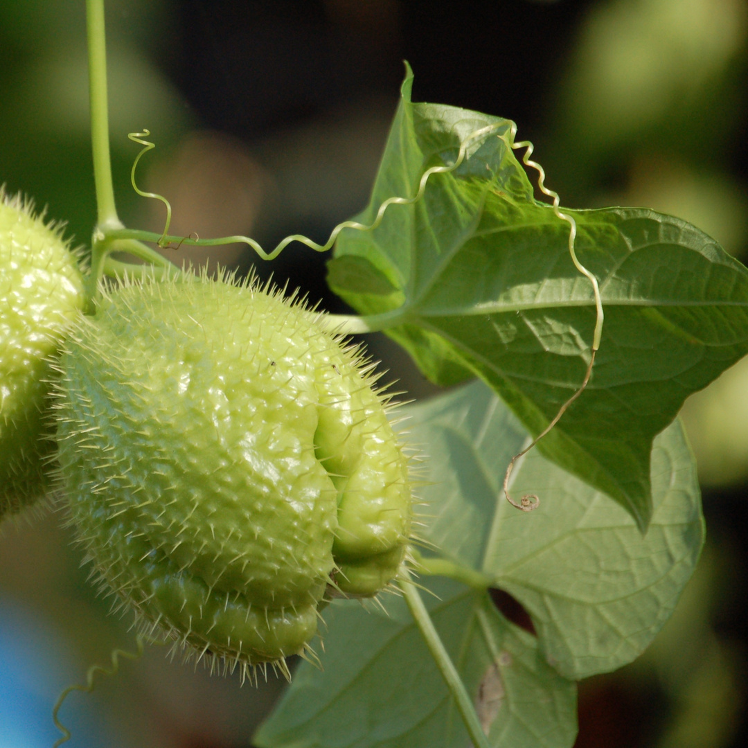 Chayote-Frucht