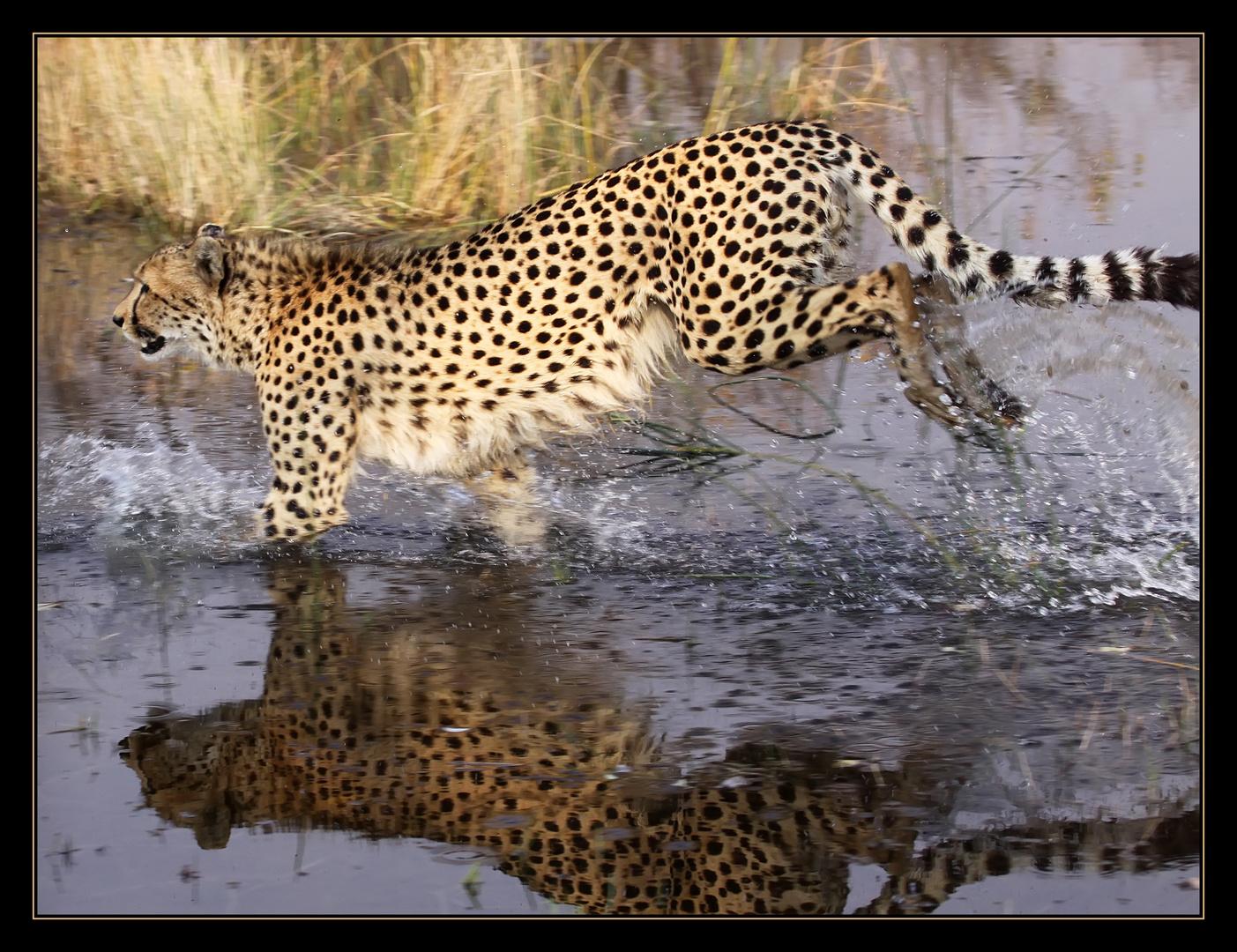 Cheetah (1) ... Moremi Game Reserve