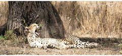 Cheetah ...
