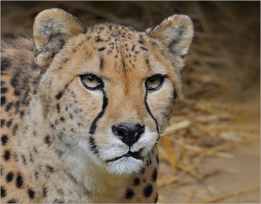 Cheetah ..