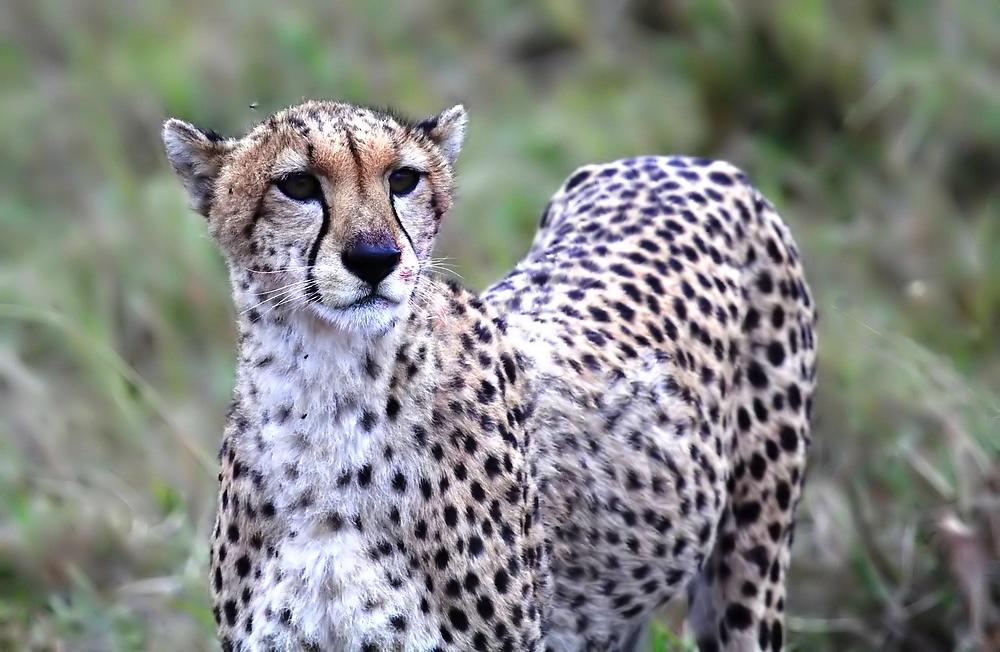 Cheetah auf der Jagd
