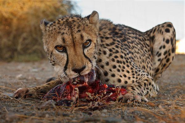 Cheetah Dinner