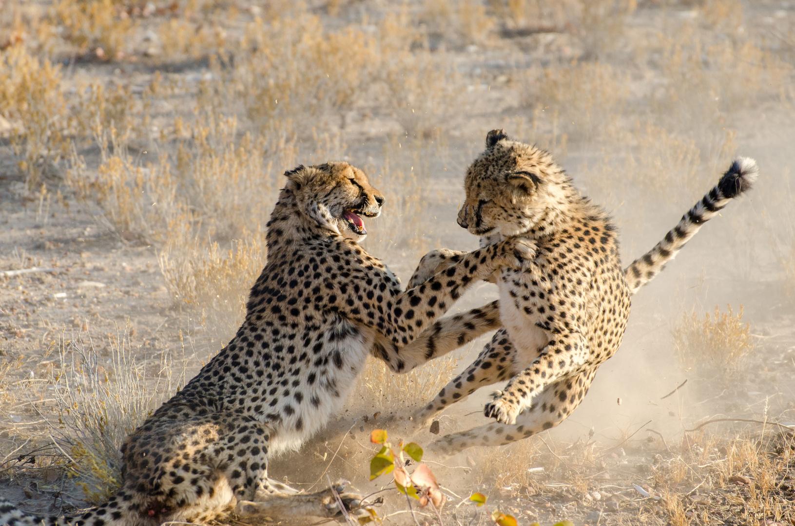 Cheetah fighting2