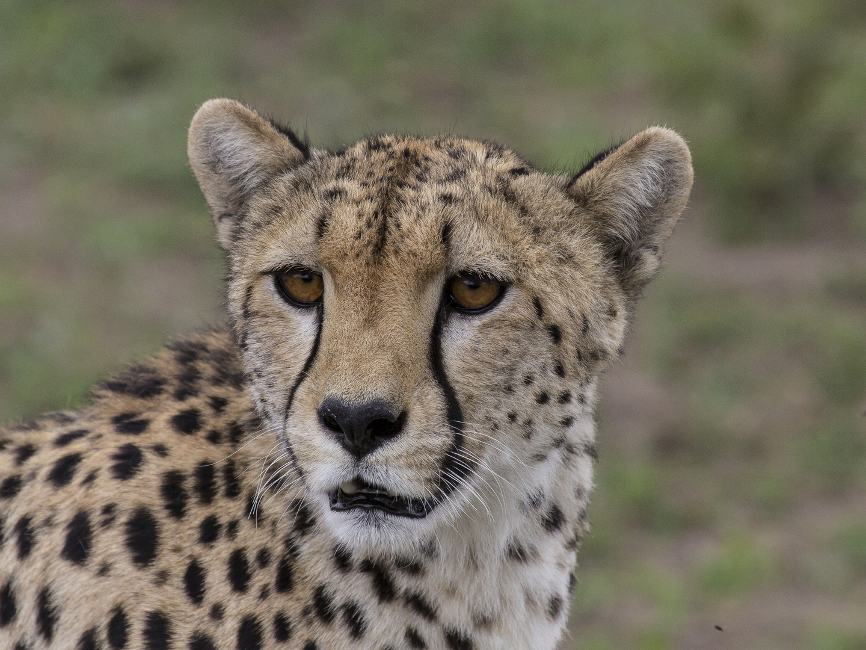 Cheetah ganz nah