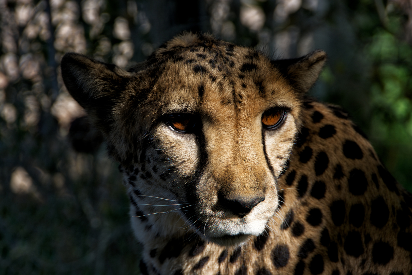 """Cheetah Girl (""""Nice eyes"""")"""