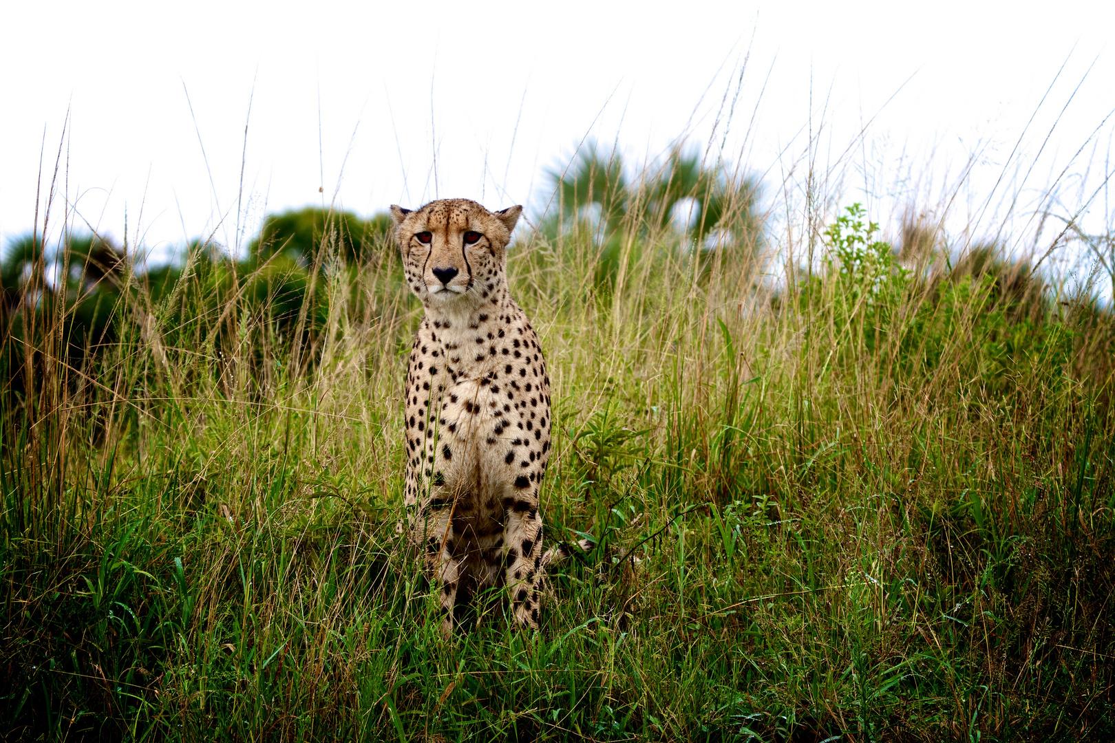 Cheetah Männchen