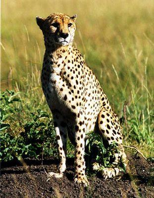 Cheetah Model in Kenia (Masai Mara)