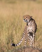 Cheetah on top...