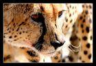 Cheetah Porträt (I)