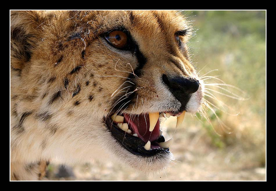 Cheetah Porträt (II)
