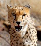 Cheetah, the cat