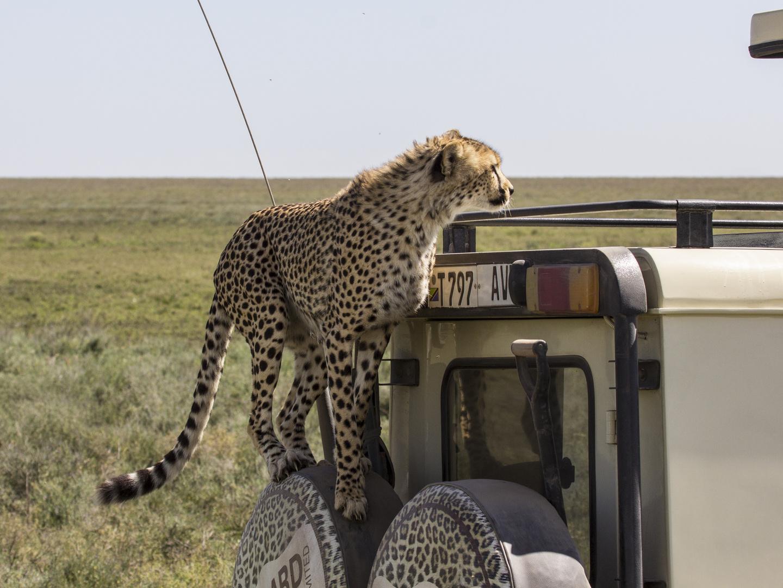Cheetah zu Besuch