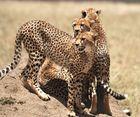 Cheetahs ~1~