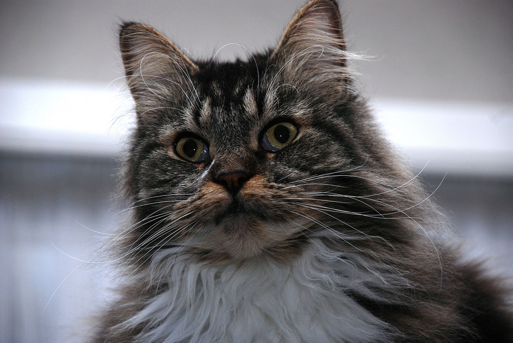 Chef-Katze