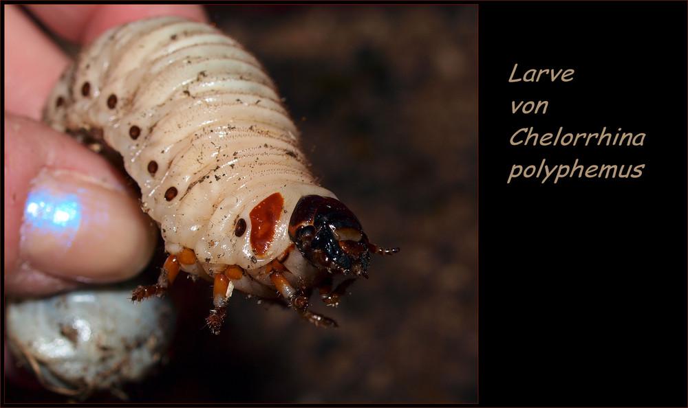 Chelorrhina polyphemus