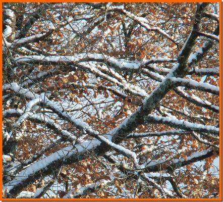 chènes et neige