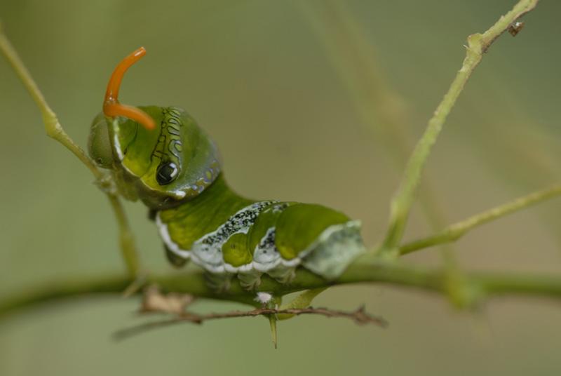 Chenille de papillon Morpho