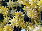 chenille sur un buisson de camomille sauvage