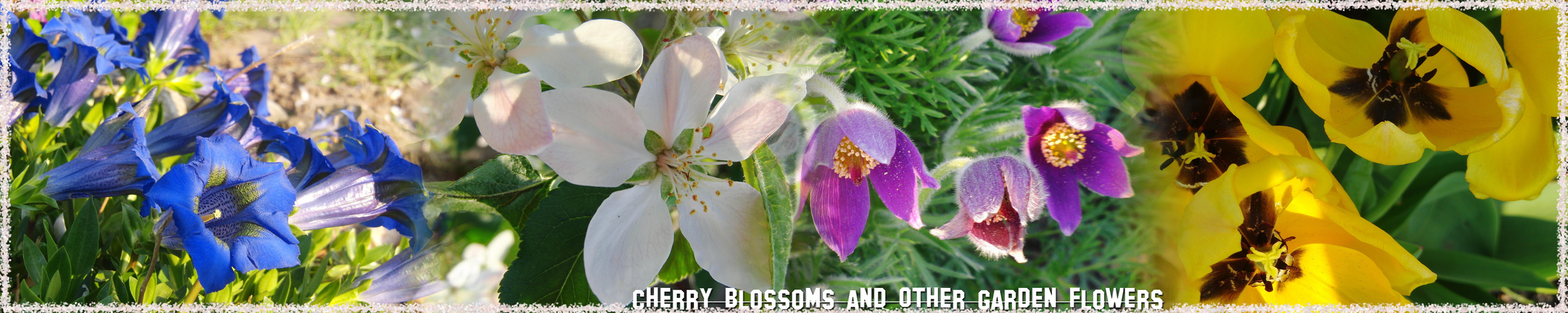 Cherry Blossoms And Other Garden Flowers...