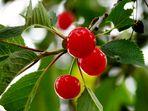 Cherry Cherry Lady