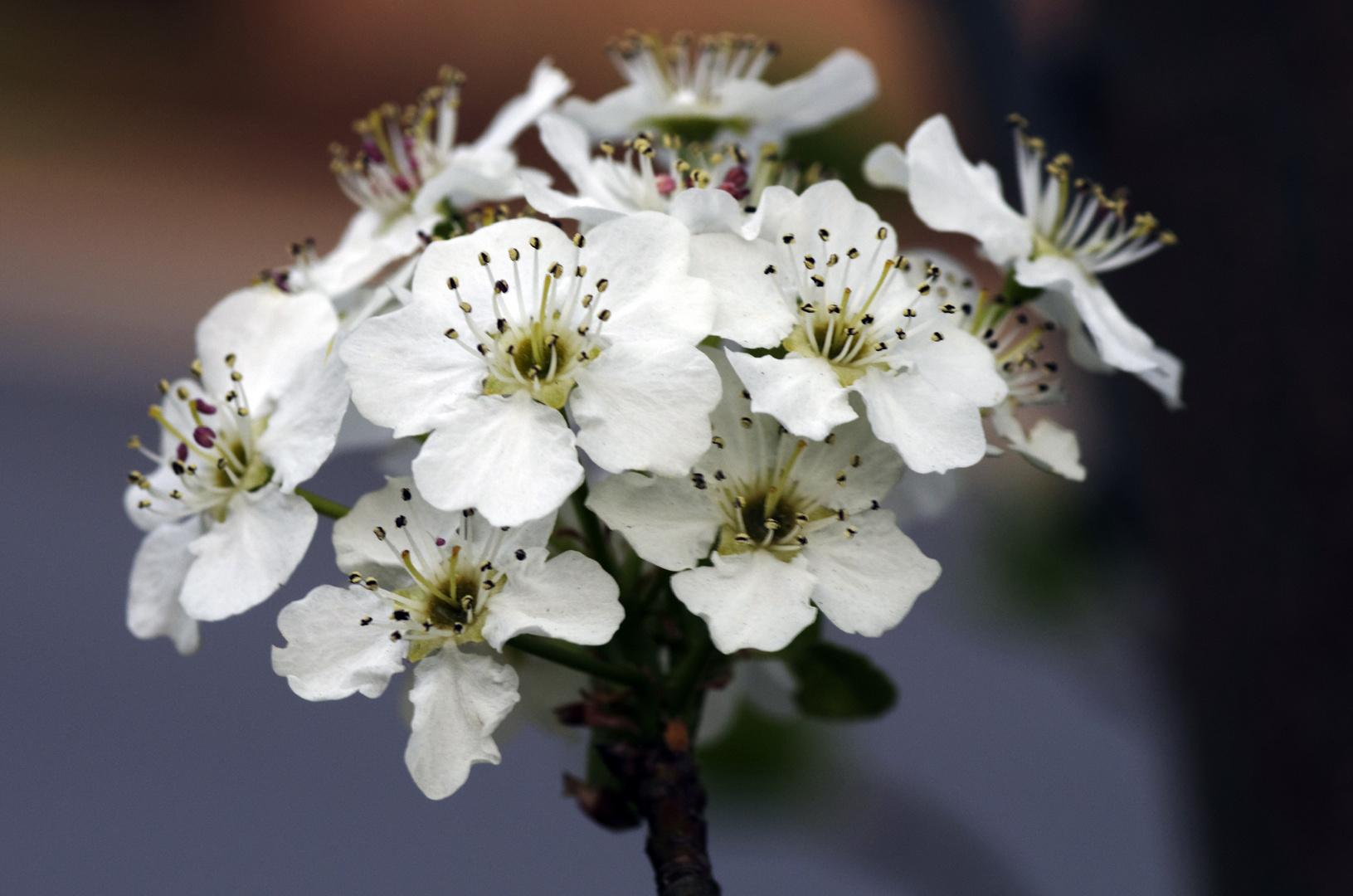 Cherry flowers in Washington DC