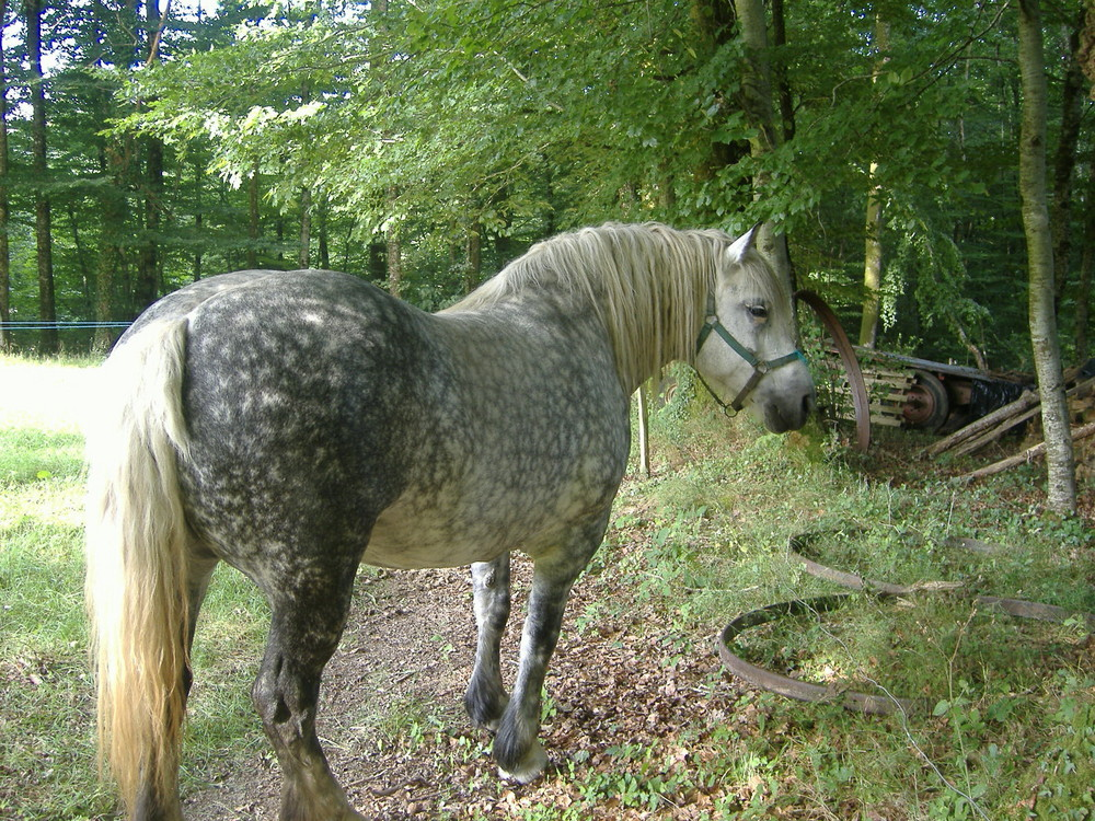 cheval de trait pomelée