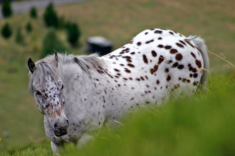 cheval des Pyrénées