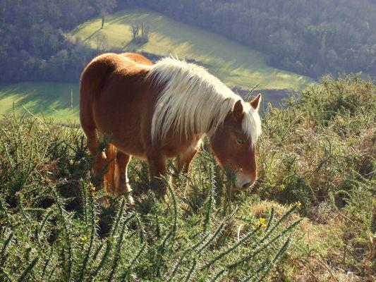 cheval du pays basque