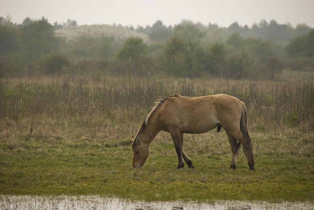 Cheval en baie de Somme