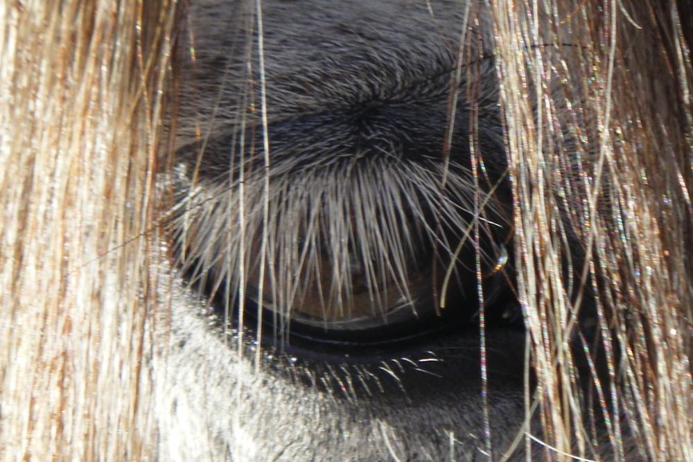 Cheval gris avec dégradé de mèche cuivrée: le tout au naturel