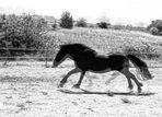 Cheval noir 2