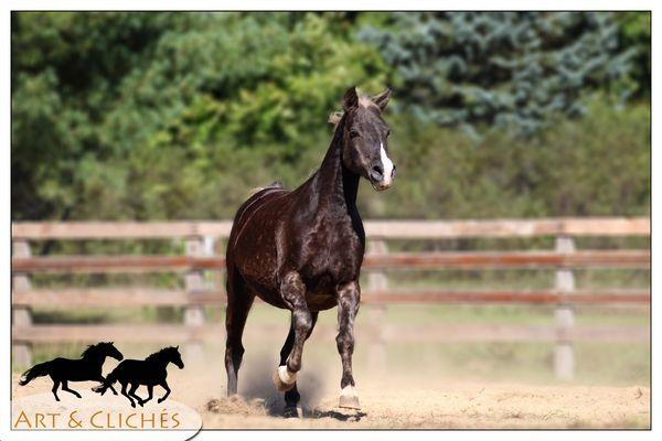 cheval qui vient au galop