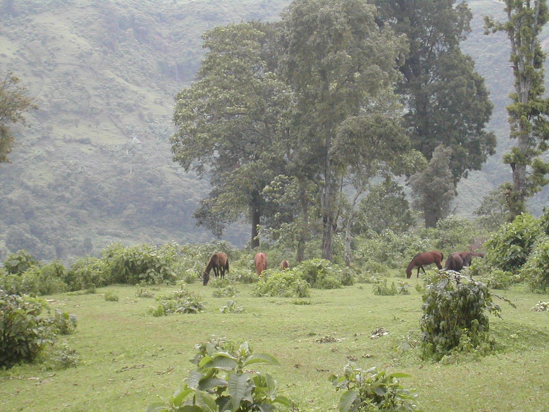 Chevaux à Wondo Genet (Ethiopie)