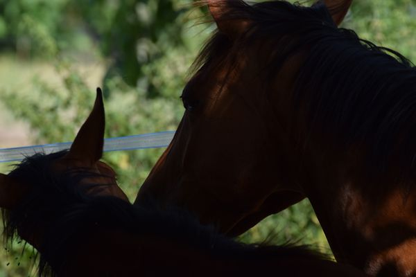 chevaux calins