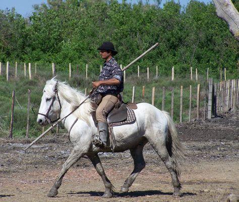 chevaux de Camargue avec un gardian