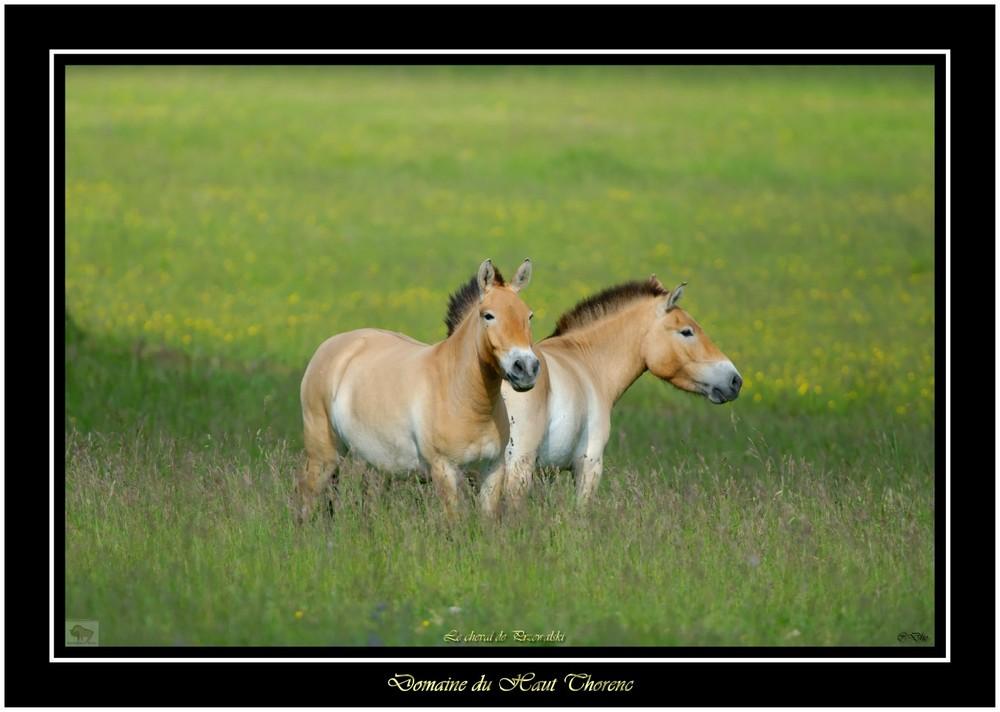 chevaux de przewalski