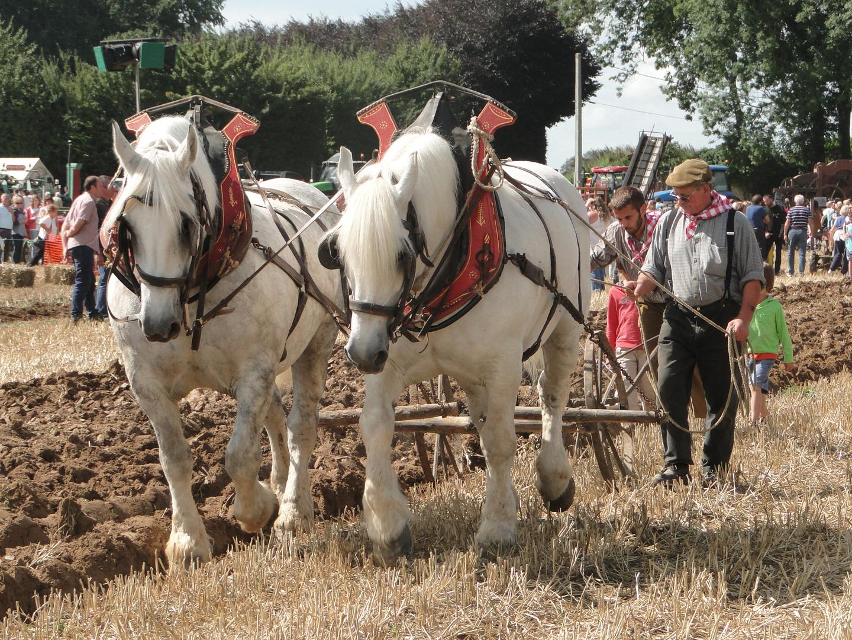 Chevaux de trait (normand)
