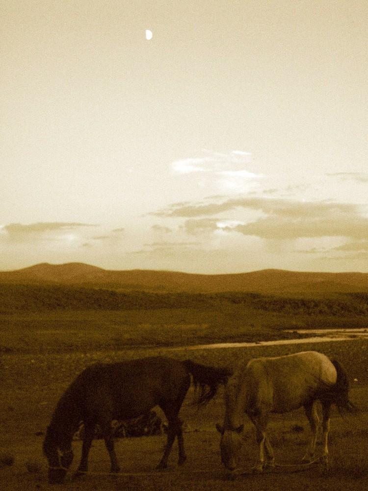 Chevaux en Mongolie.
