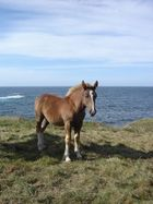 chevaux postiers bretons