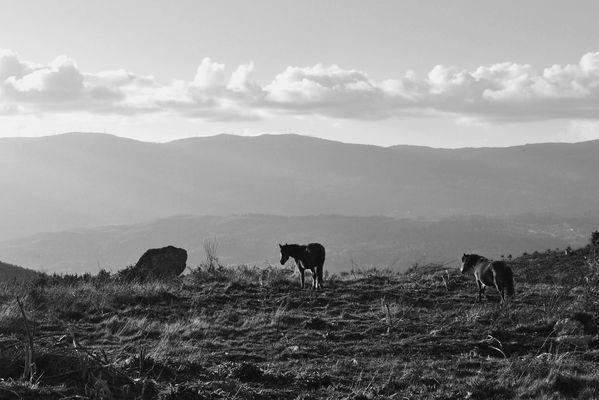 Chevaux sauvages portugais