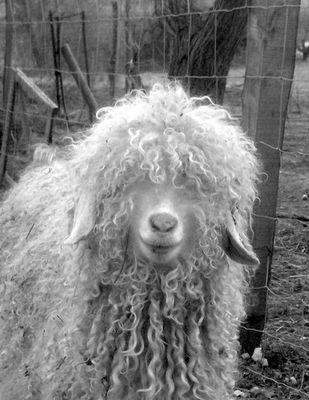 chèvre angora, un peu baba...