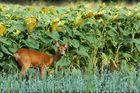 Chèvre aux tournesols.