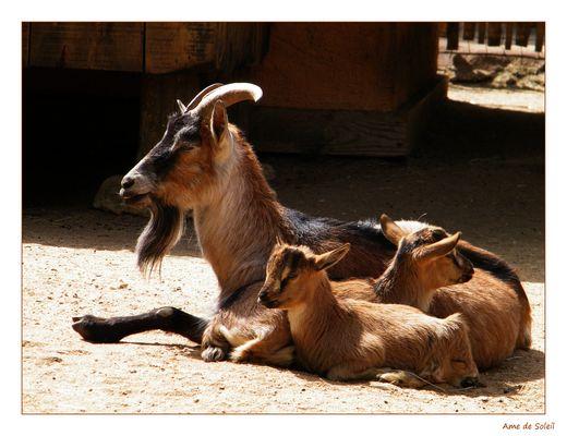 Chèvre et ses petits...