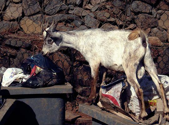 Chèvre fouillant dans une poubelle