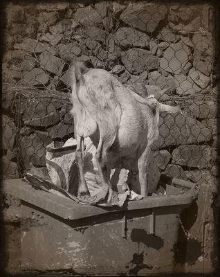 Chèvre fouillant dans une poubelle, Mayotte