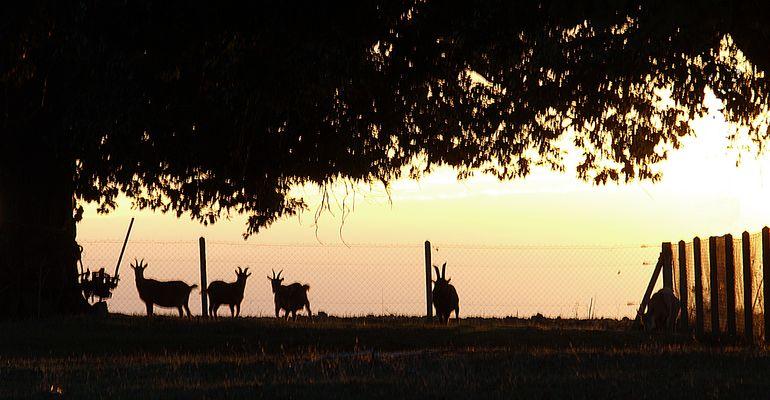 Chèvres en ombres chinoises - Schattenspiele mit Ziegen