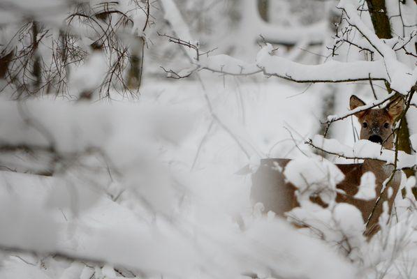 Chevreuil dans la neige