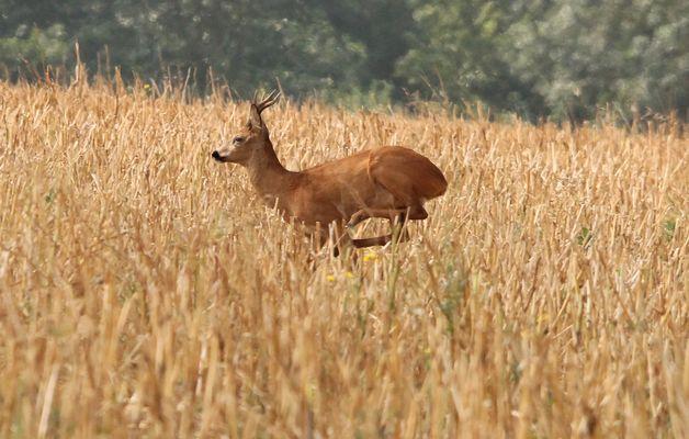 Chevreuil dans les blés (3)