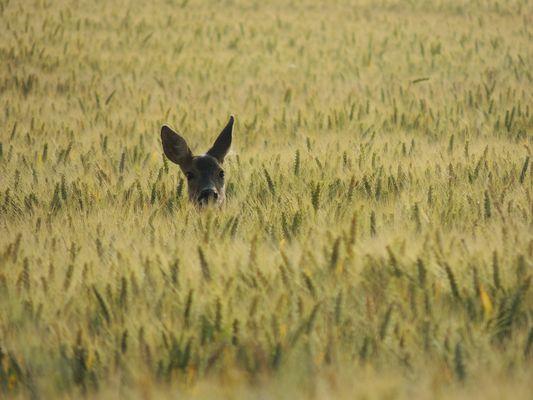 Chevreuil dans les blés